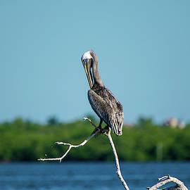 Preening Brown Pelican by Mary Ann Artz