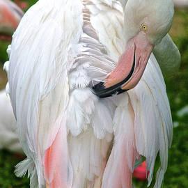 Preening Flamingo, Hawaii by Venetia Featherstone-Witty