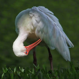 Preening White Ibis  by HH Photography of Florida