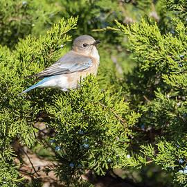 Pretty Little Eastern Bluebird by Debra Martz