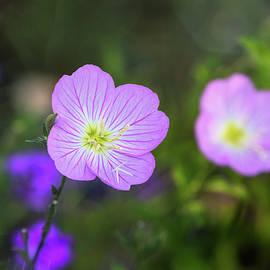 Pretty Little Primrose  by Saija Lehtonen