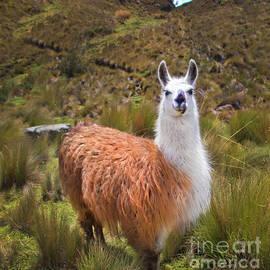 Pretty Llama In The Cajas Range Of The Andes by Al Bourassa