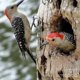Pretty Nesting Couple of Red Bellied Woodpeckers by Barbie Corbett-Newmin