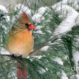 Pretty Northern Cardinal by Tina LeCour