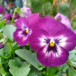 Pretty Pansies by Charlotte Gray