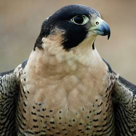 Pretty Peregrine Profile by Richard Bryce and Family