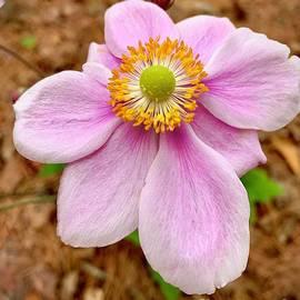Pretty Pink by Linda Covino