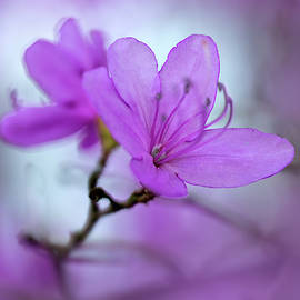 Pretty violet azalea by Jaroslaw Blaminsky