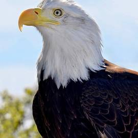 Profile of an American Bald Eagle by Richard Bryce and Family