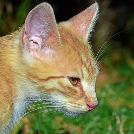 Profile portrait of a ginger tabby by Tibor Tivadar Kui