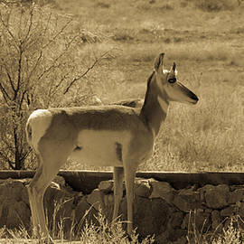 Pronghorn at the Old Water Trough  Antique