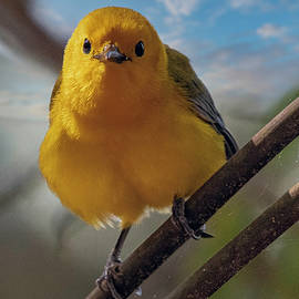 Prothonotary warbler lands on a pricker bush by TJ Baccari
