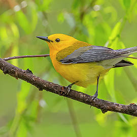 Prothonotary Warbler Perched by Morris Finkelstein