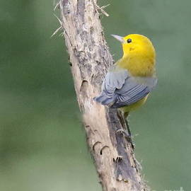 Prothonotary Warbler Perched by Myrna Bradshaw