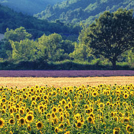 Provence Sunflowers by Kim Lessel