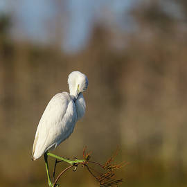 Pruning Great Egret by Juergen Roth