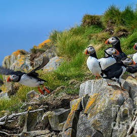Puffins B-P006 by Wei Tang