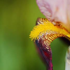 Puppy Ear Bearded Iris by Joy Watson