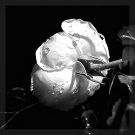 Purity of the Rose by Christina Ford