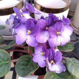 Purple African Violets  by Charlotte Gray