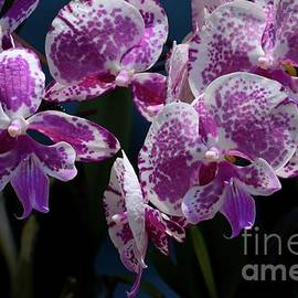 Purple and white tropical orchid flowers in bloom by Imran Ahmed
