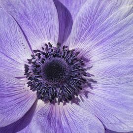 Purple Anemone Flower - Tryon Palace New Bern NC by Bob Decker