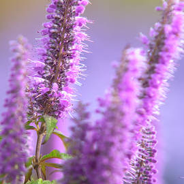 Purple Blooms Of Chinese Mint Shrub 2 by Jenny Rainbow