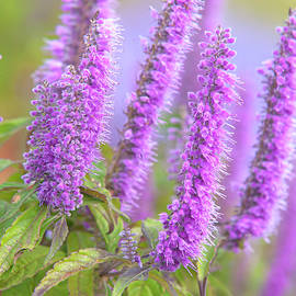 Purple Blooms Of Chinese Mint Shrub by Jenny Rainbow
