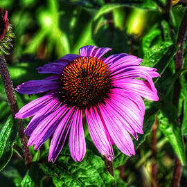 Purple Coneflower by Dana Hardy