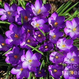 Purple Crocus Spring Cluster by Jane Tomlin