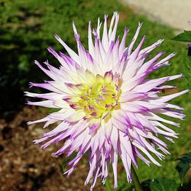 Purple Dahlia by Sally Weigand
