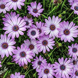 Purple Daisies by S Jamieson