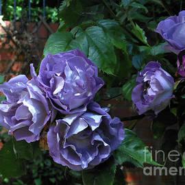 Pretty-in-Purple Floribunda Roses by Kathryn Jones