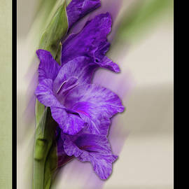 Purple Gladiolus Bloom by Patti Deters