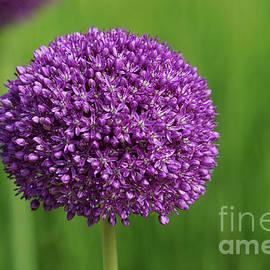 Purple Globe Sensation by Jane Tomlin