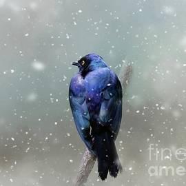 Purple Glossy Starling in Winter by Eva Lechner