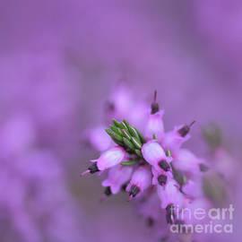Purple Heather - Erica cinerea by Yvonne Johnstone