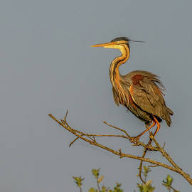 Purple Heron by SGR Photography