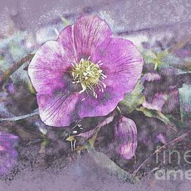 Purple Lenten Rose by Bentley Davis