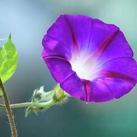 Purple Morning Glory by Lyuba Filatova