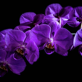 Purple Orchids by Denise Harty