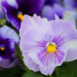 Purple Pansies  by Living Color Photography Lorraine Lynch