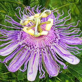 Purple Passion Flower by Susan Hope Finley