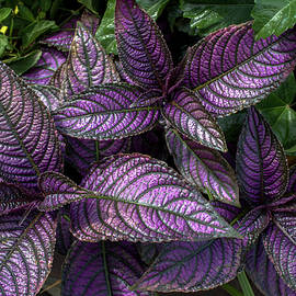 Purple Persian Shield by Linda Howes