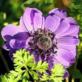 Purple Poppy Anemone Close-up by Sheila Brown