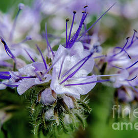 Purple Tansy by Michelle Meenawong