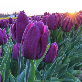 Purple Tulip at Sunrise by Varma Penumetcha
