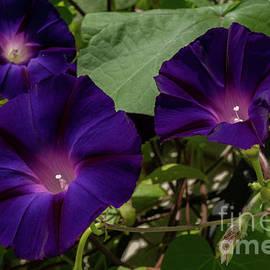 Purple Velvet by Linda Howes