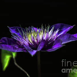 Purple Water Lily by Michelle Meenawong