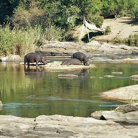 Pygmy Hippo Herd at the River South Africa by Heidi Fickinger